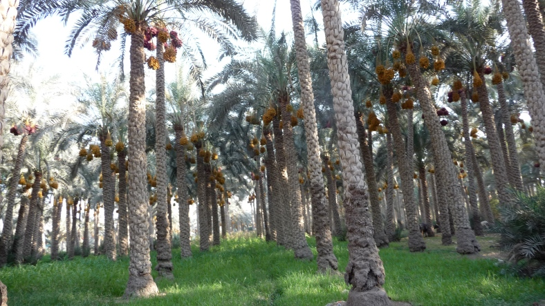 Date trees south of Cairo